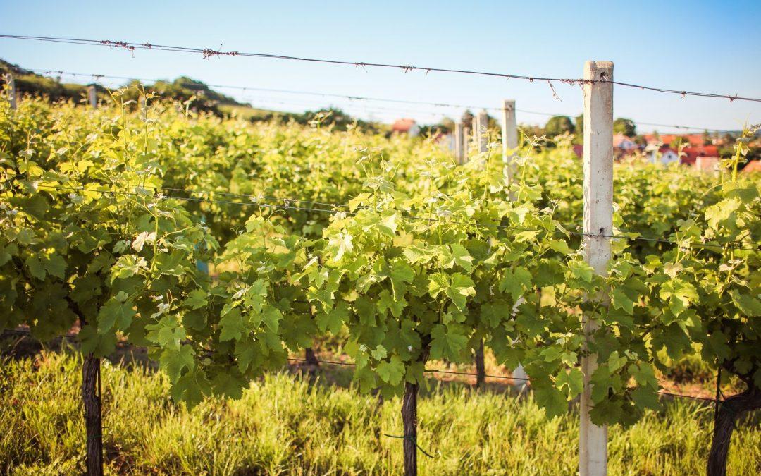 Prečo je mikroživot pod nohami dôležitý pre kvalitu vína
